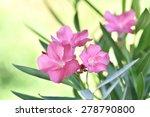 Sweet Oleander  Rose Bay. ...