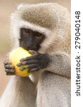 Small photo of African Green Monkey eating apple in Tanzania, 2014