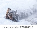 An Iconic Frosty Bison Seated...