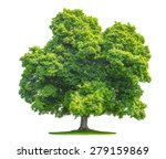 Green Maple Tree Isolated On...