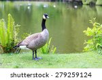 A Canada Goose Standing By A...