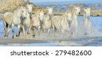 White Horses Of Camargue...