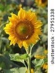 sunflower open vertical | Shutterstock . vector #27951338