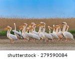 white pelicans in the danube... | Shutterstock . vector #279590084