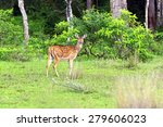 Spotted Deer In The Wild On Th...