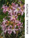 amaryllis belladonna  naked... | Shutterstock . vector #279694724