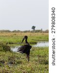 Small photo of African Openbill with wings spread to the evening sun, Chobe river, Botswana