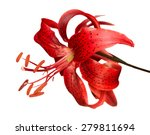 Red Tiger Lily  Vector