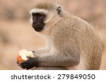 Small photo of African Green Monkey eating apple 3, in Tanzania