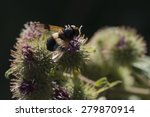 Small photo of Pellucid Hoverfly