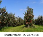 Apple Plantation At Lake...