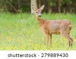 Roe Deer   Ree