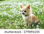 Brown Chihuahua Sitting On...
