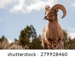 Big Horn Sheep  Ovis Canadensis