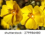 Small photo of Chaguazo yellow flowers. Halimium lasianthum alyssoides.