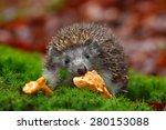 Cute European Hedgehog ...