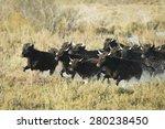 Black Bulls Of Camargue France...