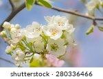 Spring Blossom Pear Tree