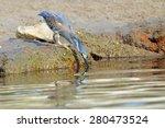 Striated Heron  Mangrove Heron...