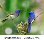 Parents Of Black Naped Monarch...