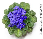 Blossoming Violets Isolated On...