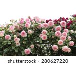 Stock photo climbing pink roses in garden 280627220