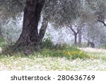 An Ancient Olive Tree Captured...