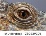 Closeup Eye Of Green Iguana ...