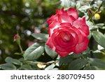 Stock photo rose in garden 280709450