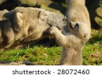 Stock photo close up of a polar bear and her cute cub 28072460