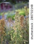 Small photo of Flower - Quinoa - Chenopodium quinoa - 'Campesino' - Amaranthaceae