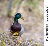 male mallard duck standing on ... | Shutterstock . vector #280813319
