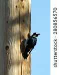 Small photo of Acorn Woodpecker brings a nut to a nest hole in a utility pole