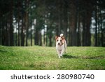 Stock photo dog jack russell terrier walks in the park summer 280980740