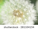 Enlarged Dandelion   Blowball...