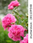 Blooming Peony Bush With Large...