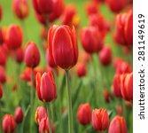 unusual tender tulip spring... | Shutterstock . vector #281149619
