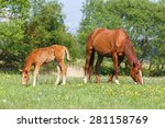Foal And A Mare Grazing In The...