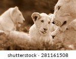 a free roaming wild white lion... | Shutterstock . vector #281161508