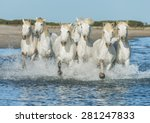 Stock photo white camargue horses galloping along the beach in parc regional de camargue provence france 281247833