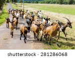 Herd Of Goats On The Road ...