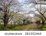 cherry blossoms bloom path of... | Shutterstock . vector #281352464