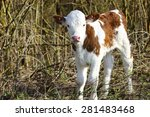 Small photo of Cute little calf
