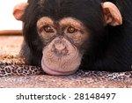 Closeup Of A Chimpanzee Sulkin...