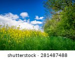 Yellow Canola Flowers On A...