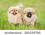 Two Pekingese Dogs