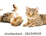 Stock photo portrait of cats scottish fold and scottish straight closeup isolated on white background 281549039