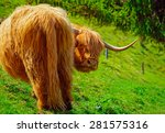 Funny Highland Cow Grazing In...