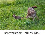 Adult Coyote  Canis Latrans ...