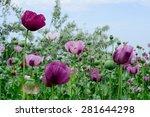 poppy flower. variety of colors....